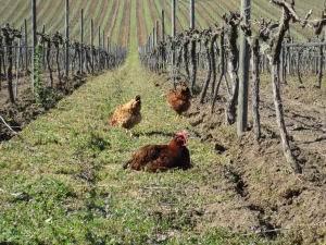 At Matetic's biodynamic vineyards, pesticides have been replaced by bug-eating chickens