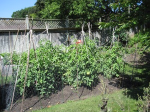 Tomato pallisade 2014 002